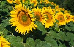 Zonnebloemen op de gebieden stock foto's