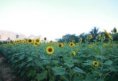 Zonnebloemen op de ochtend Royalty-vrije Stock Afbeelding