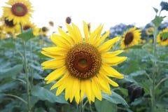 Zonnebloemen op de ochtend Royalty-vrije Stock Fotografie