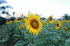 Zonnebloemen op de ochtend Royalty-vrije Stock Foto's
