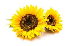 Zonnebloemen op de witte achtergrond Royalty-vrije Stock Foto
