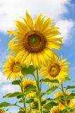 Zonnebloemen op een achtergrond van blauwe hemel Royalty-vrije Stock Foto
