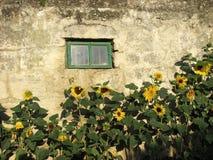 Zonnebloemen op een achtergrond van een steenmuur Royalty-vrije Stock Afbeeldingen
