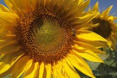Zonnebloemen op een gebied Stock Foto's