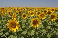 Zonnebloemen op een gebied Stock Afbeeldingen