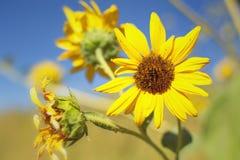 Zonnebloemen op een gebied Stock Afbeelding