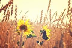 Zonnebloemen op een gebied van tarwe royalty-vrije stock afbeeldingen