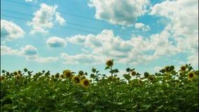 Zonnebloemen op een gebied in zich achtergrond het bewegen stock videobeelden
