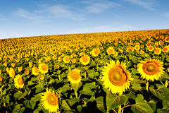 Zonnebloemen op een helling Royalty-vrije Stock Afbeelding