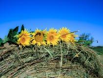 Zonnebloemen op een hooi Stock Foto