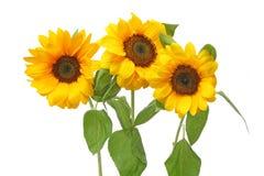 Zonnebloemen op een witte achtergrond royalty-vrije stock foto