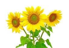 Zonnebloemen op een witte achtergrond Stock Foto