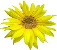 Zonnebloemen op een Witte Achtergrond Stock Afbeeldingen