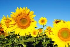 Zonnebloemen op een Zonnige Dag Royalty-vrije Stock Afbeelding
