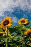 Zonnebloemen op het gebied stock afbeeldingen