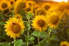 Zonnebloemen op het gebied Stock Fotografie