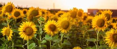 Zonnebloemen op het gebied Royalty-vrije Stock Afbeeldingen