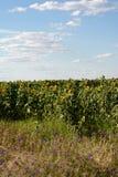 Zonnebloemen op het gebied stock foto's