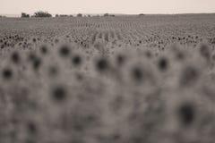 Zonnebloemen op het gebied Royalty-vrije Stock Fotografie