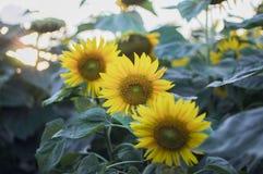 Zonnebloemen op het gebied De bloemen van de zomer stock afbeeldingen