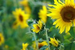 Zonnebloemen op het gebied in een warme de zomeravond stock afbeelding