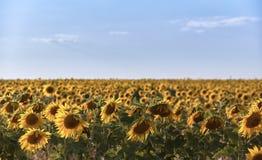 Zonnebloemen op het gebied Heldere de zomer zonnige dag royalty-vrije stock fotografie