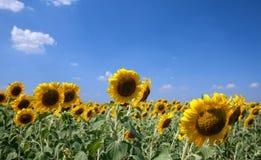 Zonnebloemen op het gebied met heldere blauwe hemel stock foto