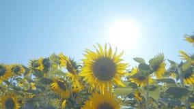 Zonnebloemen op het gebied met lichtblauwe hemel