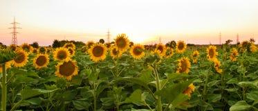 Zonnebloemen op het gebied tijdens zonsondergang Stock Foto