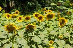 Zonnebloemen op het groene gebied bij platteland Royalty-vrije Stock Foto's