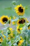Zonnebloemen op het Landbouwbedrijf stock fotografie