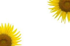 Zonnebloemen op Wit Stock Fotografie
