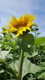 Zonnebloemen openlucht op gebied bij zon royalty-vrije stock fotografie
