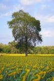 Zonnebloemen rond de boom Stock Foto's