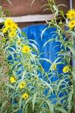 Zonnebloemen in Santa Fe Royalty-vrije Stock Afbeeldingen