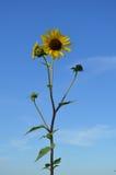 Zonnebloemen tegen blauwe hemel Stock Afbeeldingen