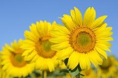 Zonnebloemen tegen blauwe hemel Het gebied van zonnebloemen op een zonnige dag royalty-vrije stock fotografie