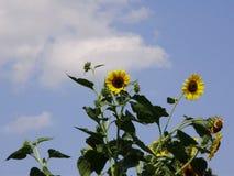 Zonnebloemen tegen de hemel Royalty-vrije Stock Afbeeldingen