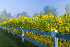 Zonnebloemen tijdens een vroege ochtendmist. Stock Foto