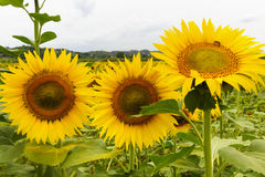 Zonnebloemen in Toscanië Stock Foto's