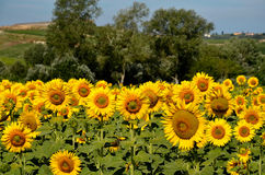Zonnebloemen Toskana stock afbeeldingen