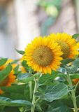 Zonnebloemen in tuin Royalty-vrije Stock Foto