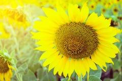 Zonnebloemen in tuin met zachte nadruk Stock Fotografie