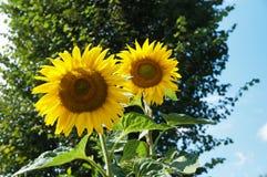Zonnebloemen twee tuin moestuin royalty-vrije stock foto's