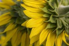 Zonnebloemen van erachter Stock Afbeelding