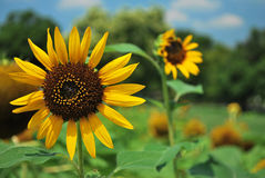 Zonnebloemen in volledige bloei royalty-vrije stock foto