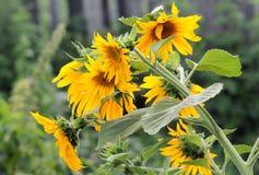 Zonnebloemen Zonnebloem in Tuin Royalty-vrije Stock Afbeelding