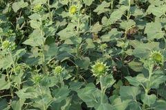 Zonnebloemen, Zonnebloemen het bloeien Royalty-vrije Stock Afbeelding