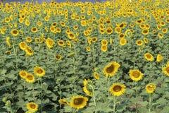 Zonnebloemen, Zonnebloemen het bloeien Royalty-vrije Stock Afbeeldingen