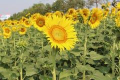 Zonnebloemen, Zonnebloemen het bloeien Stock Afbeeldingen